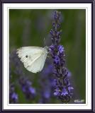 European Cabbage White