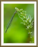 Eastern-Forktail, male-like female