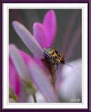 Probable Seed Bug Species