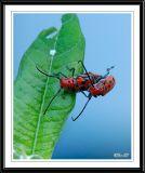 Red Milkweed Beetle--Mating
