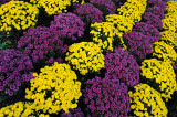 Michigan Avenue Mums