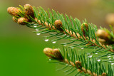 Dripping Pine Needles