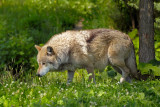 Mexican Gray Wolf (captive)