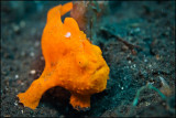 Coy frogfish