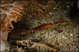 Thin Robust ghost pipefish