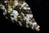 Inquisitive Filefish