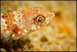 Sponge Goby close up