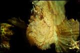 Yellow leaffish