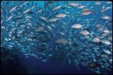 Jackfish school 1