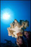 Mushroom soft coral Moso