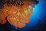 Moso Gorgonian 3