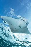 Flying manta ray in Nusa Penida