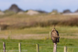 Common Buzzard - Buizerd - Buteo buteo