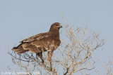 Greater Spotted Eagle - Bastaardarend - Aquila clanga