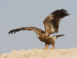 Raptors around Bandar Abbas