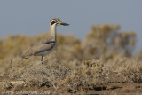 Greater Stone Plover - Grote Griel -  Esacus recurvirostris