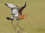 Grutto / Black-tailed Godwit