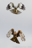 Blauwe Kiekendief / Hen Harrier