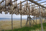 Stockfish, up for drying in Vestre Jacobselv