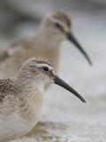 Krombekstrandloper / Curlew Sandpiper
