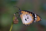 African Monarch - Afrikaanse Kleine Monarchvlinder - Danaus chrysippus chrysippus