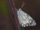 Caper White - Belenois aurota