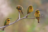 Little Bee-eater - Dwergbijeneter - Merops pusilla