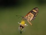 Small Orange Acraea - Acraea serena serena