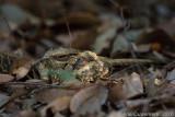 Long-tailed Nightjar - Mozambikaanse Nachtzwaluw - Caprimulgus climacurus