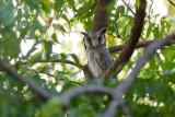 Northern White-faced Owl - Witwangdwergooruil - Ptilopsis leucotis leucotis