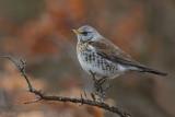 Fieldfare - Kramsvogel - Turdus pilaris