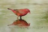 Red-billed Firefinch - Vuurvink - Lagonosticta senegala