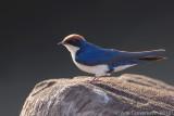 Wire-tailed Swallow - Roodkruinzwaluw - Hirundo smithii