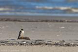 Peregrine Falcon - Slechtvalk - Falco peregrinus