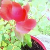 rose still blooming