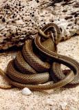 Espanola Snake eating an Espanola Lava Lizard.jpg