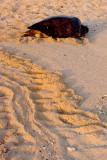 nesting Green sea turtle.jpg