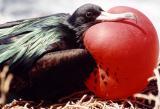 Great Frigatebird.jpg
