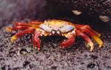 Sally Lightfoot Crab.jpg
