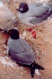 Swallow-tailed Gulls.jpg