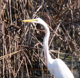 Egret in the rushes