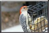 redbellied woodpecker