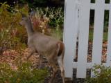 Young doe in perennial garden