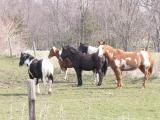Painted Ponies-Ogden