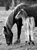 cavalls_b&w