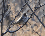 White Crowned Sparrow?