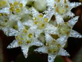 Dodder flowers