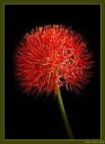 blood lilly
