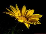 Gazania_VIS_4232257_c.jpg