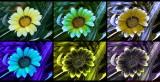 GazaniaY_multispectral_c.jpg